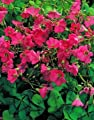Oxalis, Sauerklee Deppei - 25 Blumenzwiebeln von GardenSeedsMarket bei Du und dein Garten