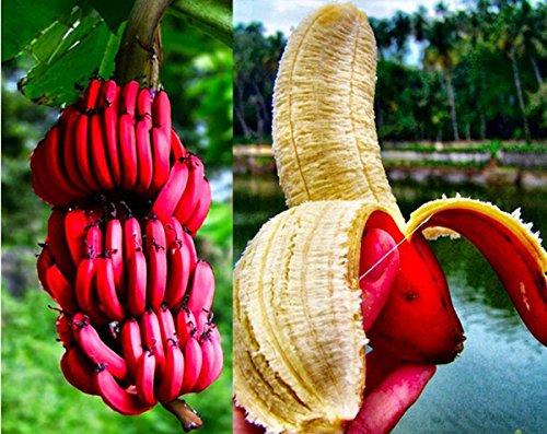 120pcs / bolsa raro rojo plátano sandía el sabor de la leche semillas para jardín Sembrando semillas de plátano Fácil Crecer