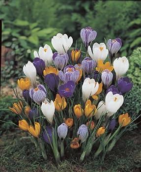 Amazon.de Pflanzenservice 30 Zwiebel Großblumige Krokusse, Mischung, Zwiebelgröße 89, Blumenzwiebeln, Winterhart 2