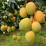 Siam Garden Alphonso Mango Live Plant King Of Mango Grafted Plant In Polypack