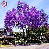 100pcs / sac de graines de paulownia, Graines Arbre royal Empress (Paulownia tomentosa), ourdoor plantes graines de fleurs plantes potagères grand pot 1