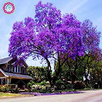 100pcs / bag semi paulownia, semi reale imperatrice tree (paulownia tomentosa), ourdoor piante semi di fiori piante giardino di casa in vaso 1