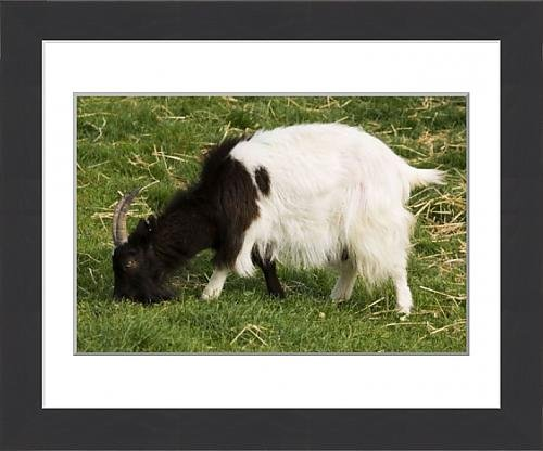 framed-print-of-mab-759-black-and-white-bagot-goat-grazing