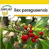 SAFLAX - Anzucht Set - Mate - Teestrauch - 10 Samen - Ilex paraguaensis
