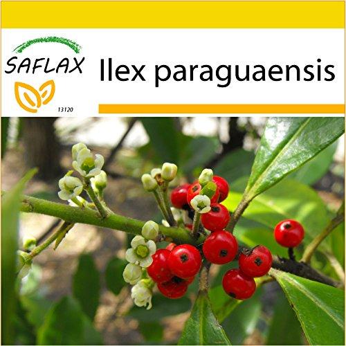 SAFLAX - Set de cultivo - Yerba mate - 10 semillas - Ilex paraguaensis
