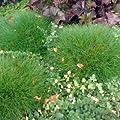 Bärenfellgras - Festuca gautieri - immergrünes kleinbleibendes Ziergras von Native Plants - Du und dein Garten
