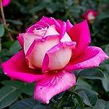 Gfone 40 Stücke Rosa Samen Blumensamen Bonsai Blumen Saatgut Garten Pflanze Saat Seed Plant 8 Farben