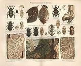 Waldverderber I; Käfer, Kiefernrüßler u.a. - Antiquarische Lithografie (Sammlerstück) von 1897