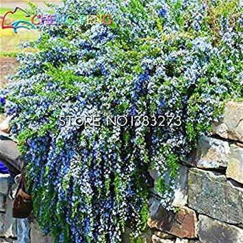 vistaric 100 semi di rosmarino fai da te piante da giardino facile da coltivare erba erba semi di ortaggi sani bonsai fiore una casa jardin regalo vasi di fiori