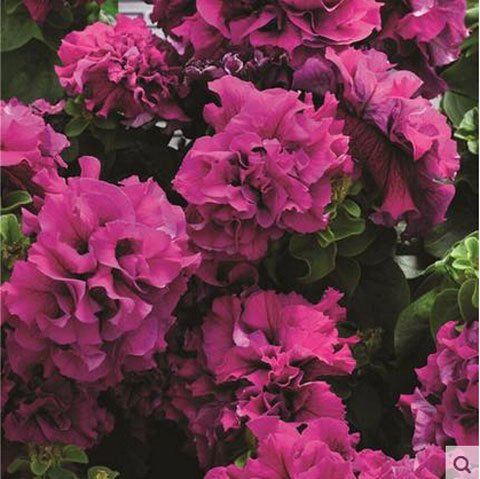 Graines de fleurs graines de pétunia pendaison usine balcon -100 graines blanches