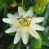 Artland Qualitätsbilder I Wandbilder Selbstklebende Premium Wandfolie 30 x 30 cm Botanik Blumen Blüte Foto Weiß C7TF Weiße Passionsblume