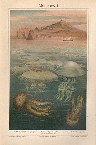 Medusen, Schirm-, Wurzel- und Knollenqualle - Antiquarische Lithografie (Sammlerstück) von 1896