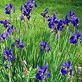 Iris, sibirica 'Niklas Sea' von VDG-Stauden auf Du und dein Garten