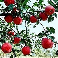 Fash Lady 5: Zwerg Bonsai-Baum 50 Samen Pick Köstliche Früchte In Ihrem Garten Easy-Growing Bonsai FruitFree Versand 5