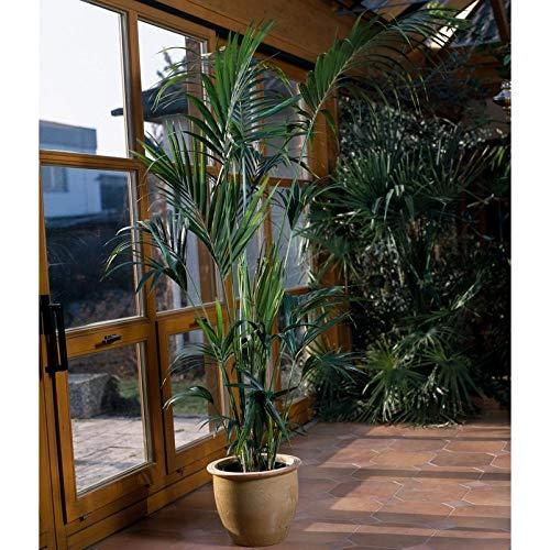 Kentia-Palme - Howea forsteriana - ca. 160 cm hoch - 24 cm Kulturtopf - erstklassige Pflanzenqualität vom Fachgärtner