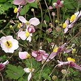 lichtnelke - Herbst-Anemone (Anemone hupehensis)