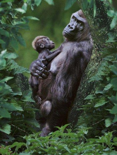 3-D Postkarte nr. 10181 Affen (Gorillas):