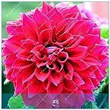 IDEA HIGH Seeds-ZLKING 2pcs Bunte Dahlia Birnen Blume Seltene Schöne Mehrjährige Dahlie Blumenzwiebeln Bonsai Pflanze DIY Hochzeit Hausgarten: 5