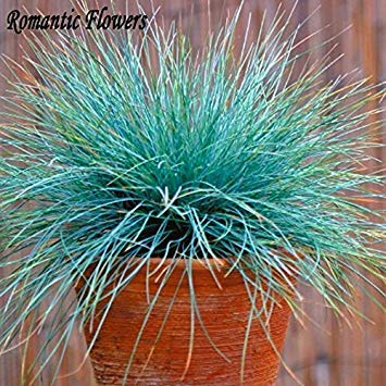 PLAT firm-semi blu Festuca Grass Seeds - (Festuca glauca) perenne Hardy Erba ornamentale Così facile da coltivare 100 particelle/Bag