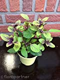 Rotes Strauchbasilikum African Blue Ocimum kiliman.x basilicum Kräuterpflanze 1stk.