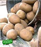 BALDUR-Garten Pflanzkartoffel'Nicola', 10 Stück zertifizierte Saatkartoffel