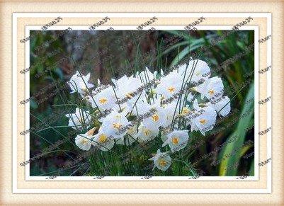 100pcs / sac fleur jonquille, graines de jonquille (pas de bulbes de jonquilles) plantes graines bonsaï fleur aquatique doubles pétales maison jardin