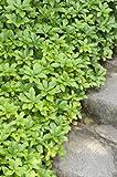 DickmŠnnchen. (Pachysandra terminalis). 5 Pflanzen - zu dem Artikel bekommen Sie gratis ein Paar Handschuhe fŸr die Gartenarbeit dazu