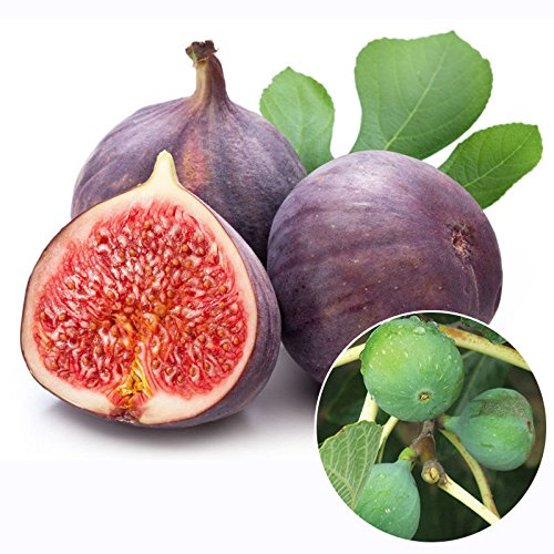 M-Technologiess Figs Seeds Edible Fruit Tree Seeds Rare Red Figs Seeds Ficus Carica Seeds 20 SEEDS PACK