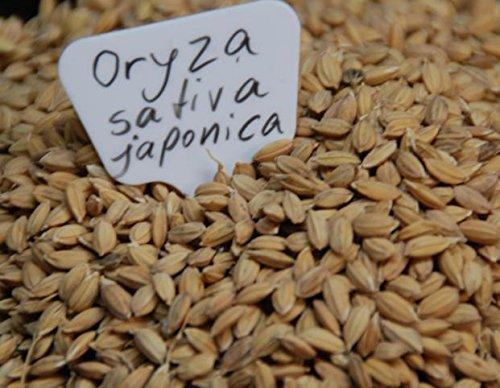 100 Samen echter Reis Oryza sativa ssp. japonica -