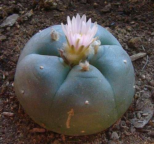 Exotic Plants Lophophora williamsii v Las Coloradas - Peyotl - cactus San Pedro - 10 graines