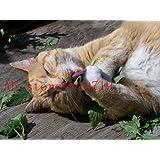 200 PC gato amor de menta Semillas de hierbas de gato hierba de semillas de flores buen olor para el jardín de comprar-directo desde China