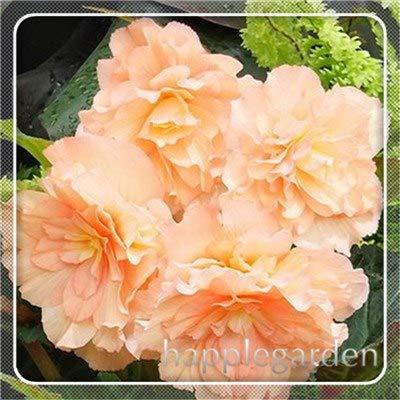 pinkdose 20 pz begonia pianta bonsai fiore pianta fai da te decorazione del giardino begonie bonsai in vaso facile da coltivare albero nana piante da appartamento: 17