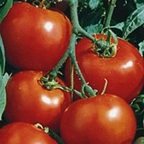 Ein wahrer Klassiker - rote Tomate - sehr lecker - Rutgers - 30 Samen