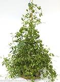 Jiaogulan Pflanze der Unsterblichkeit 1000 Samen