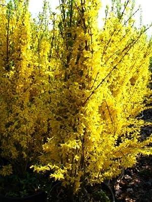 Forsythie Forsythia x intermedia Lynwood 80 cm hoch im 3 Liter Pflanzcontainer von Plantenwelt Wiesmoor bei Du und dein Garten