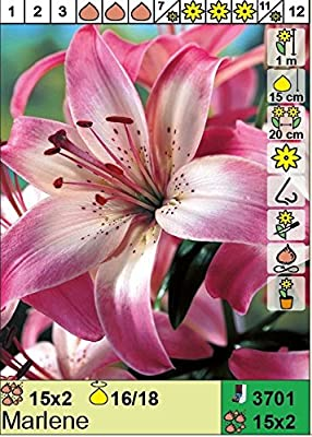 """ANGEBOT : Lilium asiatic - Asiatische Lilie"""" Marlene"""" 3 Blumenzwiebeln von Das Blumenliesel auf Du und dein Garten"""