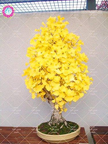 5 Stück Erbstück Bio Ginkgo Biloba Gingko Ginkgobaum Samen Nüsse Bonsai-Baum gewachsen Vom Samen Blumentopf für Garten