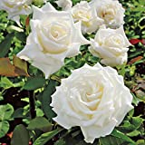#6: ROSE PLANT LIVE WHITE COLOR HYBRID INCLUDE POT