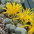 Lapidaria margaretae - Lithops - Lebende Steine - 1-3 cm Pflanz von CactusPlaza.com bei Du und dein Garten
