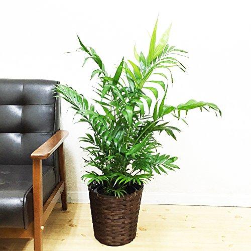 チャメドレア 鉢カバー付 観葉植物 テーブルヤシ ヤシの木 ヤシ インテリア 中型