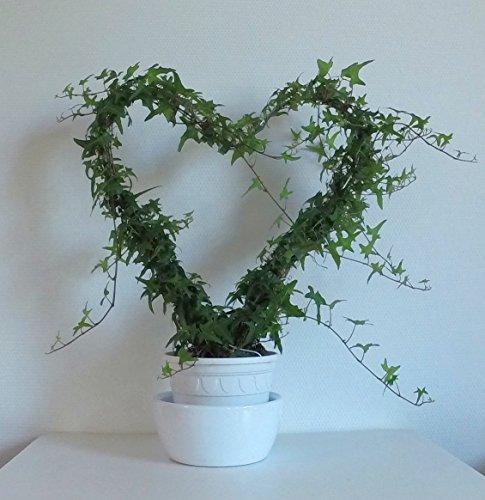 GeschenkIdeen.Haus - Herz-Pflanze aus Efeu - 50 bis 60 cm hoch