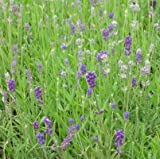 lichtnelke - Lavendel (Lavandula angustifolia 'Munstead Strain') blau