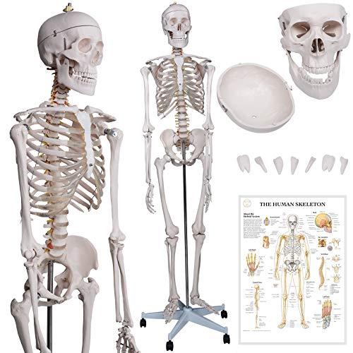 Menschliches Anatomie Skelett 181.5 cm | inkl. Schutzabdeckung, mit Ständer, Standfuss und Lehrgrafik Poster, Lebensgroß | Anatomie Lernmodell, Lehrmittel, klassisches Skelett