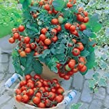 Cherry Tomaten B Gartenperle 50 seeds pack by Raunak Seeds, Delhi