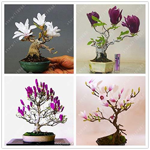 Magnolia Tree (Plantree 10 Stücke Magnolie Blumen Bonsai Tree Seeds Farbe Duftende Immergrüne Pflanze)