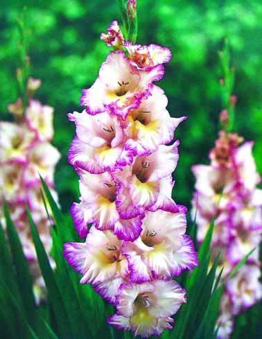 10 gladioli priscilla