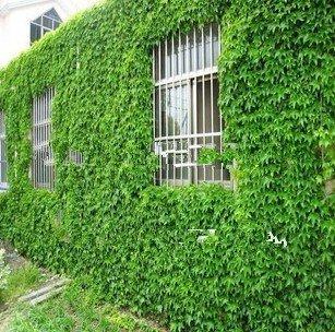 Spedizione gratuita! Semi di edera, viti, piante rampicanti, piantine Tigre che si trova sulle montagne, 60 semi germinano molto
