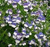 Elfenspiegel blau & weiß Samen - Nemesia strumosa