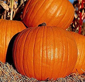 Potseed Samen Keimung: Jack O'Lantern - 250 Seeds: 25+ - 5000+ Non-GMO Jack O'Lantern und Connecticut Feldkürbiskerne