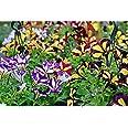 Surfinia Planta Pequeña con Flor de Temporada en Colores Surtidos Ideal para Colgar